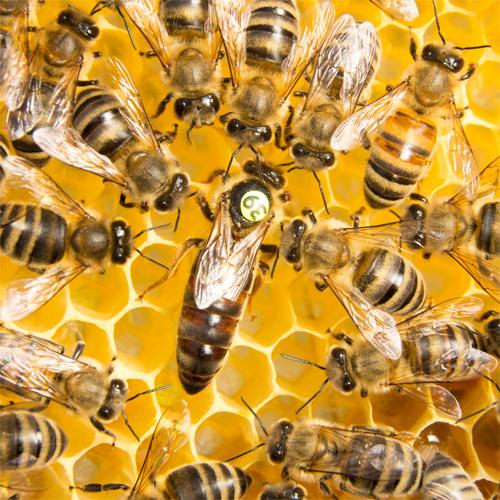 Bild eines Bienenschwarms.
