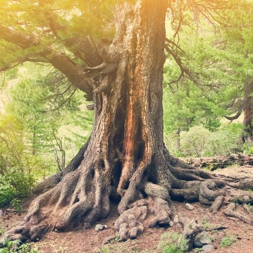 Bild von einem Baum mit starken Wurzeln.
